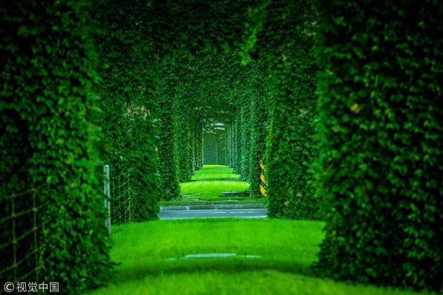 """炎热的夏日到来,那些郁郁葱葱、枝叶茂盛的爬墙虎俨然一座座""""绿色城堡""""。为夏日带来清凉。(来源:中国日报网)"""