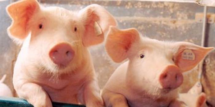 傅海棠:生豬未來要漲價 但全國生豬減少沒想象那么大