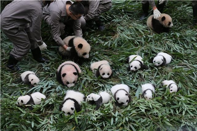 10月13日,中国大熊猫保护研究中心36只2017年新生熊猫宝宝分别在雅安碧峰峡基地、卧龙神树坪基地亮相。在卧龙神树坪基地,工作人员将19只新生熊猫宝宝集合在幼儿园。宝宝们或打盹、或行走,或相互玩耍,可爱的样子萌翻众人。成都商报刘海韵/中国大熊猫保护研究中心