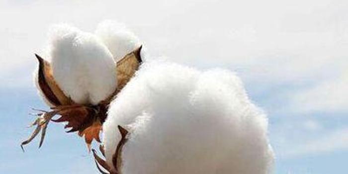 利空出盡 棉花期貨有望止跌
