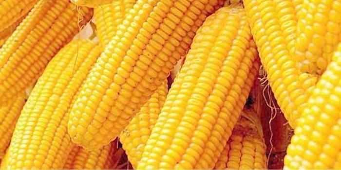 玉米價格反彈 利好個股表現