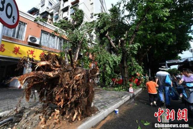 5月29日下午,一场突如其来的狂风暴雨导致福州道路上的许多大树被连根拔起,道路一片狼藉。 中新社记者 吕明 摄