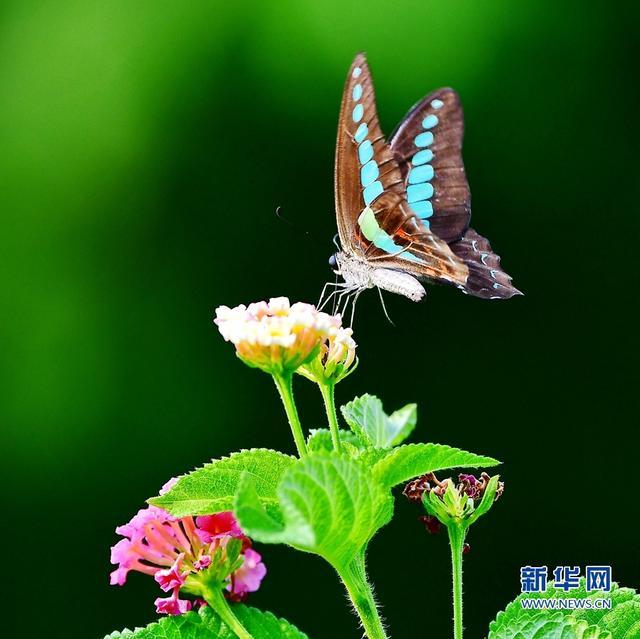 夏末秋初,福建省福州市温泉公园内的马缨丹花大面积开放,吸引成群的蝴蝶前来。新华社记者 梅永存摄