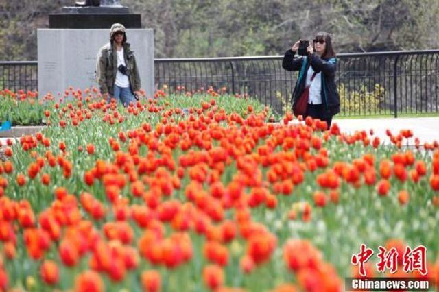 """5月中旬,第66届加拿大郁金香节正在渥太华举行。图为国会山附近梅杰斯公园的郁金香花坛吸引民众驻足留影。每年一度的加拿大郁金香节是北美春季规模最大的文化节庆活动之一。今年郁金香节的主题为""""郁金香世界"""",会期从5月11日持续至21日。中新社记者 余瑞冬 摄"""