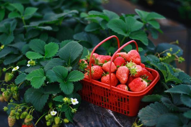 饱满多汁的草莓。林晓勤 摄