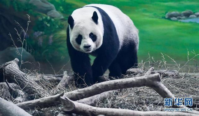 """8月30日在台北动物园拍摄的大熊猫""""圆圆""""。 当日,大陆赠台大熊猫""""圆圆""""迎来14岁生日,上百位粉丝赶到台北动物园,为它和两天后过14岁生日的伴侣""""团团""""庆生。 新华社记者薛玉斌摄"""