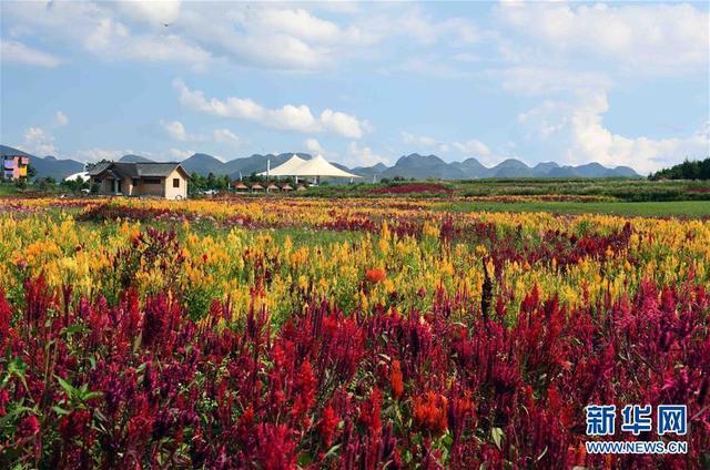 云南省曲靖市罗平县于2018年在区域内打造3000亩七彩花田,大力发展乡村特色旅游产业,吸引游客观景赏花。新华社记者杨宗友摄