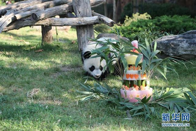"""8月4日,在法国圣艾尼昂市博瓦勒野生动物园,大熊猫宝宝""""圆梦""""准备品尝""""生日蛋糕""""。当日,法国圣艾尼昂市博瓦勒野生动物园为首只在法国出生的大熊猫宝宝""""圆梦""""举行一周岁生日庆祝活动。新华社发(博瓦勒动物园供图)"""