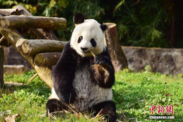 """12月3日,中国大熊猫保护研究中心海归大熊猫""""高高""""结束回国后隔离检疫,与媒体见面。大熊猫""""高高""""系雄性,谱系号415,1992年在野外被救助,被救助时约2岁,于2003年6月旅居美国圣地亚哥动物园。图为大熊猫""""高高""""在享用美食。李传有摄"""