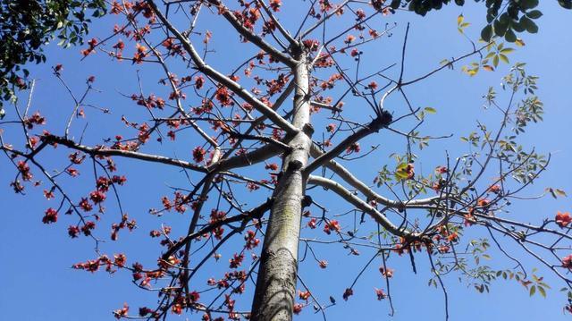 春天,也是收获的开始。蓝天下的红木棉,仿佛预示着港城即将来临的绚丽!黄花铃的繁美、格桑花的娇媚。