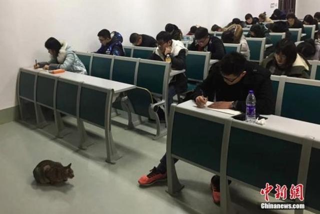"""1月9日,生活在南京农业大学校园内的一只在考场内""""巡逻监考""""的猫被拍摄后,照片上传至该校校园网,引发大学生和网友们的留言和转载,瞬间成为""""网红""""。伍洁 摄"""
