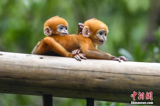 """5月13日,黑叶猴龙凤胎小仔在树上休息。黑叶猴""""笑笑""""于2018年4月19日至20日,在广州长隆野生动物世界成功产下龙凤胎,此黑叶猴龙凤胎是世界首例。 中新社记者 陈骥旻 摄"""