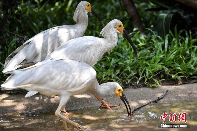 """7月11日,由广州长隆华南珍稀野生动物物种保护中心繁育的8只朱鹮幼鸟首次与公众见面。朱鹮,素有""""东方宝石""""的美誉,被列入《世界自然保护联盟》(IUCN)2012年濒危物种红色名录。目前,广州长隆华南珍稀野生动物物种保护中心内的朱鹮已繁育至第三代,种群内朱鹮数量达150余只。中新社记者 陈骥旻 摄"""