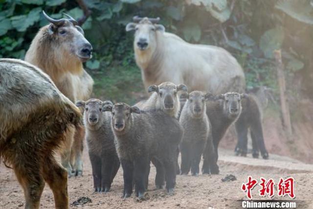 中新网广州2月13日电(王华 麦念萍)频频创造动物繁育奇迹的广州长隆野生动物世界13日再传喜讯,国家一级保护动物羚牛新添了6只幼仔。