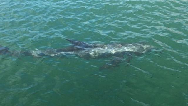 还记得今年3月12日,意外造访深圳大鹏海域的抹香鲸吗?从它开始,深圳人越来越认识到海洋里跟我们最相近的鲸豚类哺乳动物。9月9日上午10点多,惠州双月湾民宿主苏先生驾船在惠州市惠东港口镇附近潜水,又发现了一头两米多长的鲸豚类动物!