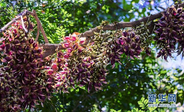 广州华南植物园的禾雀花盛放,如万千只鸟栖息树上,蔚为壮观。新华网发(彭欣摄)