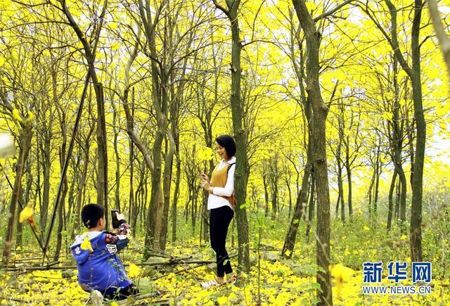 """""""远瞻玉树泛珠黄,近见风铃洒馨香。""""3月的广东,温暖的春天已经悄然而至,佛山三水南丹山的百亩黄花风铃木树挂满了金灿灿的黄花,置身其中,仿佛进入一个童话世界。新华网发(曾令华摄)"""
