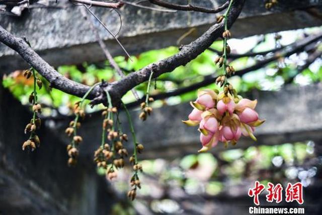 """笔者7日在中科院华南植物园看到,千万只紫色、粉红色、白色的""""小鸟儿""""三五成群、互聚相拥在园区树丛里的枝条上。据介绍,这是园区内盛放的禾雀花,该花花型奇特,像一只小小的麻雀,头、嘴、翼、尾""""四脏""""俱全。华南植物园内生长的各色禾雀花。廖树培摄"""