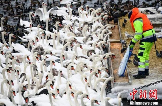 当地时间2018年3月6日,瑞典斯德哥尔摩,数百只天鹅和其他鸟类聚集在当地等待喂食。