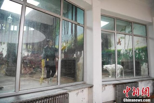 今年27岁的李伊萌是长春市动植物公园虎园的饲养员,长相甜美身材瘦弱的她,主要负责饲养七只老虎和一只狮子。