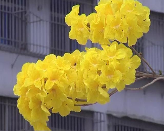 这两天,揭阳市区大街小巷处处是美景。约会春天,一起到街头巷尾,近距离感受身边的美丽。在市区临江北路,路边的黄花风铃木已经迎春怒放,吸引好多市民驻足欣赏。