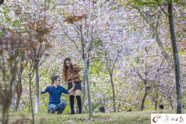 广州日报讯 3月12日,广州市依旧蓝天依依,晴空万里,华南农业大学,情侣们在紫荆花树下拥吻,朋友们彼此问候,单身的男孩女孩则安静伫立,各人有各人的浪漫。