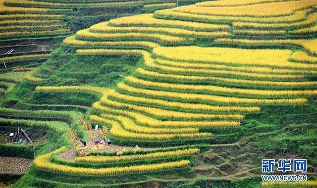 贵州省榕江县八开镇党央村农民在梯田里收获水稻。