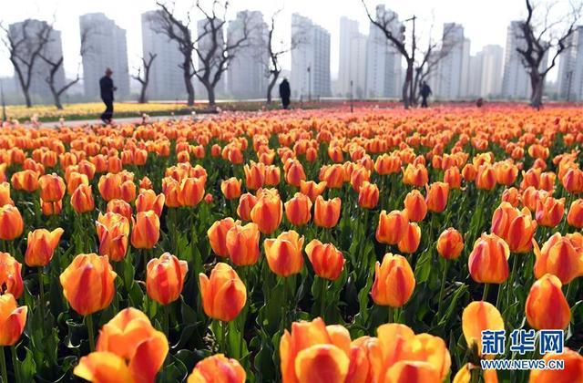 这是在永靖县城黄河南岸拍摄的黄河花堤景观带长廊中盛开的郁金香(4月27日摄)。新华社记者 范培珅 摄