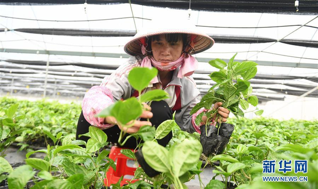 """广西钦州市钦南区沙埠镇坭桥村以""""公司+合作社+农户""""的运作模式,发展百香果、火龙果、木瓜等水果的种植开发和优良种苗培育项目,带动当地村民增收致富。今年上半年,合作社实现销售收入600多万元,百香果种苗总销售量达到200万棵,合作社帮扶的10名贫困户户均年劳务收益可达4万余元。(新华社记者张爱林摄)"""