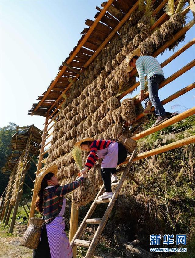 10月29日,在广西龙胜各族自治县乐江乡地灵村村民在晾晒禾把。 金秋时节,各地农民加紧收获、晾晒,到处呈现出一派丰收景象。(新华社发 黄勇丹 摄)