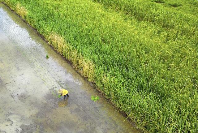 7月31日,在广西柳州市柳江区进德镇泗浪村,农民在地里插秧(无人机拍摄)。  连日来,广西柳州市柳江区早稻陆续成熟,当地农民冒着酷暑抢收早稻、抢插晚稻。  新华社发(黎寒池 摄)