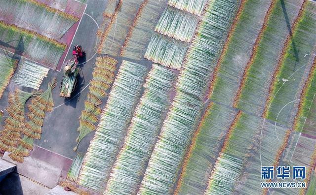 金秋时节,广西柳州市柳江区百朋镇里团村六羊屯种植的200多亩蔺草迎来丰收,农民抓住晴好天气集中收割、晾晒。据了解,六羊屯农户将晾晒后的蔺草编织成壮族草席,每亩产值近3万元,成为农民脱贫致富的主导产业。 新华社发 黎寒池 摄