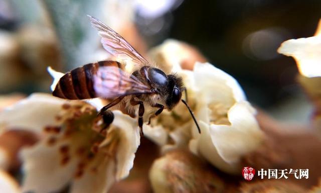 中国天气网广西站讯 12月下旬,梧州藤县的枇杷树逐渐开花,盛开的花朵吸引了大量蜜蜂前来采蜜。 近期藤县枇杷树逐渐开花,淡黄的枇杷花与翠绿的树叶相映衬,加上勤劳小蜜蜂忙碌的身影,增添了不少生机。(文/梁俊聪)