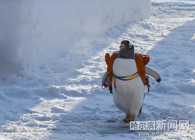 """冰城的冷让习惯于这种气候的企鹅兴奋了。这不,在哈尔滨极地馆的它们原本要""""背着书包上学堂"""",现在却一路狂奔""""逃学""""了。去哪儿享受户外寒冷?当然是太阳岛的雪博会了。一路急奔,过太阳石,进太阳门,""""逃学企鹅""""终于到了雪博会,和游人一起欣赏美景。"""