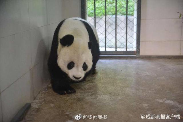 """2018年11月1日早上,旅居美国的大熊猫""""高高""""回国,入住中国大熊猫保护研究中心都江堰青城山基地隔离检疫兽舍,基地安排了经验丰富的饲养师和兽医,希望""""高高""""能尽快适应新家。"""