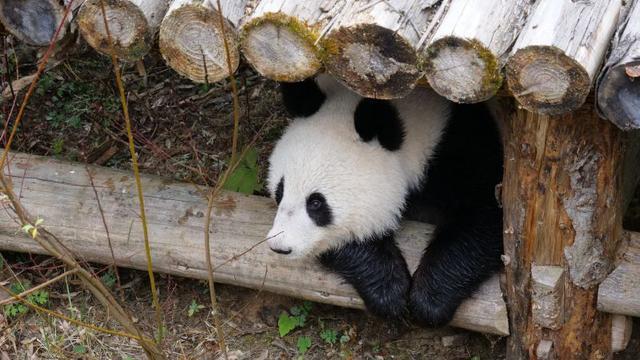 """成都全搜索新闻网(记者姚雯君)12月4日报道 今天上午,有两个小家伙回到了中国大熊猫保护研究中心,可别小瞧这两个小家伙,它们可是旅奥大熊猫龙凤胎""""福凤""""和""""福伴"""",也是首对海归大熊猫双胞胎。"""