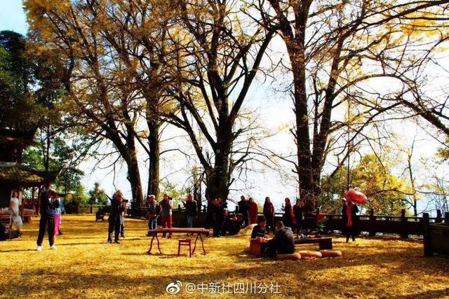 秋韵醉人!每年深秋,四川雅安蒙顶山天盖寺的千年古银杏群惹得游客驻足观赏、拍照留念。