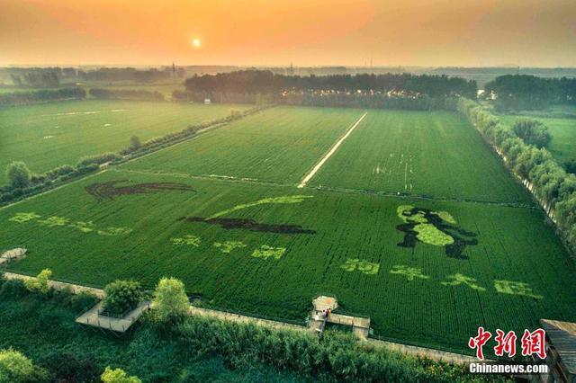 """8月5日,江苏泰州农业开发区秋雪湖生态景区种植的""""多彩稻田画""""迎来了最佳观赏期,迷人的夏景吸引了不少摄影爱好者和当地民众前来拍照游玩。"""