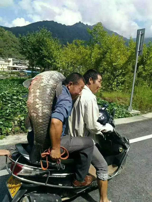 """9月6日上午,陕西安康岚皋县蔺河电站泄洪,一名当地村民在围观时意外捡到一条50余斤的大鱼,让不少村民啧啧称奇。""""从来没见过这么大的鱼,后来有几个村民合资400多提出购买,我便卖给了他们。""""据这名幸运捡到大鱼的村民介绍。"""