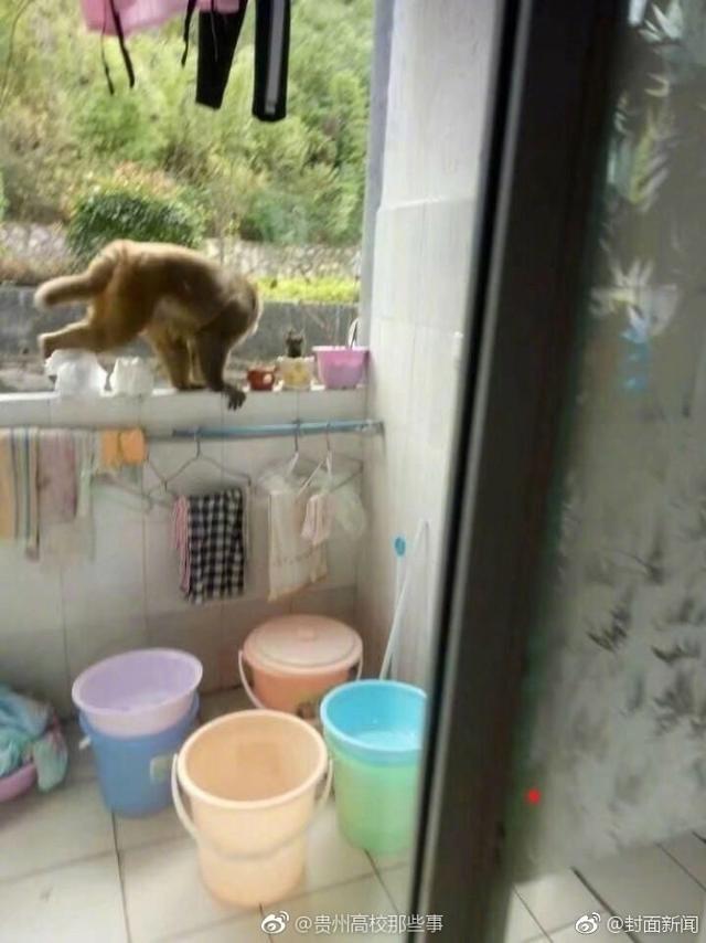 """10月7日,贵州师范学院的校园里,猴哥突然造访,成功的进入了女生宿舍""""作了案""""。"""