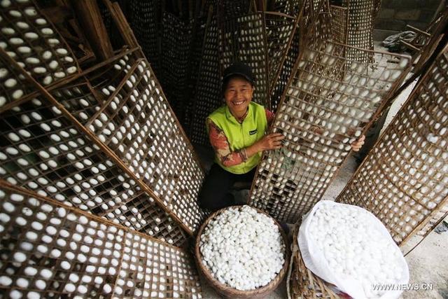 2017年10月11日报道,今年秋天,中国许多地区已进入收获季节。图为2017年10月11日重庆市尖山村的农民捡起蚕茧。摄影: Yang Min 来源:新华社