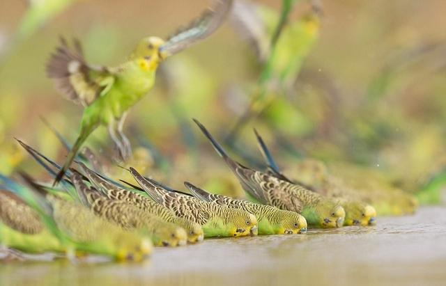 """近日,野生动物摄影师史蒂文·皮尔斯(Steven Pearce)在澳大利亚艾丽斯斯普林斯市的郊外拍到了壮观的一幕:一万多只虎皮鹦鹉聚集在一个水坑中饮水,鹦鹉们明亮的绿色羽毛和暗淡的黄色沙漠形成鲜明对比,好似刮起一阵绿色""""龙卷风""""。"""