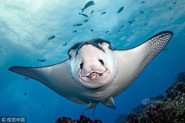 2017年12月26日讯(具体拍摄时间不详),厄瓜多尔,一名45岁的摄影师在狼岛附近的海域捕捉到这一神奇的一幕,一条鳐似乎在面对镜头微笑。摄影师说这些鳐鱼在水下不会感到害怕,它们会很搞笑的靠近潜水者。 Ray of sunshine Pictured: This sting ray appears to have a big smile on its face as it swims towards the camera. The grinning white-spotted eagle ray was captured by Josef Litt, near Wolf Island, Ecuador. The 45 year old photographer, from Berkshire, UK, said: The eagle rays do not show any fear, and they happily come very close to divers underwater as they glide in the current. Please byline: Josef Litt/Solent News(C) Josef Litt/Solent News & Photo AgencyUK +44 (0) 2380 458800