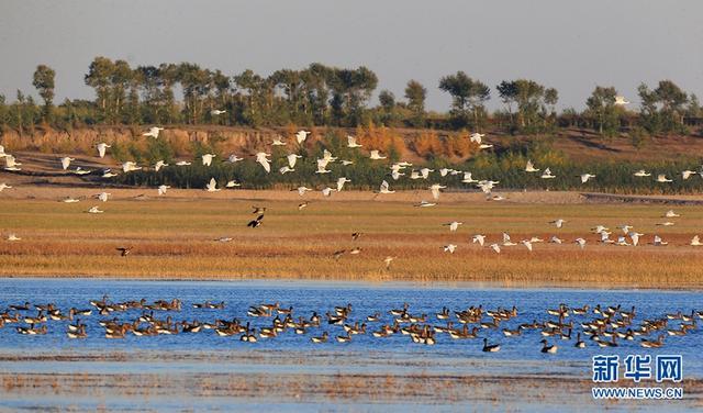 """莫莫格国家级自然保护区位于镇赉县境内,保护区内河流纵横、湖泡洼地星罗棋布,生物环境复杂多样,是吉林省最大的湿地保留地,被誉为""""吉林西部之肾"""",已列入国际重要湿地名录。国庆节期间,镇赉秋意盎然,数万只候鸟如约而至,莫莫格湿地万鸟翔集,生态美景宛如多彩画卷。"""