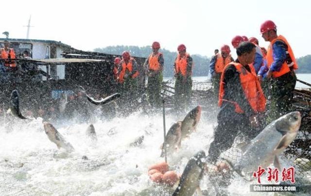 """10月26日,江西省新余市仙女湖首次举行的秋季巨网捕鱼,""""渔作景观""""成为休闲旅游的新亮点。 中新社发 赵春亮 摄"""