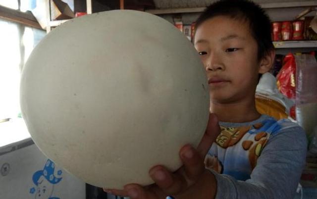 """近日,沈阳市民张先生去农村办事, 意外收获了一枚巨型""""馒头"""":有排球大小、通体雪白。经过辨认,这是一株大马勃蘑菇。"""