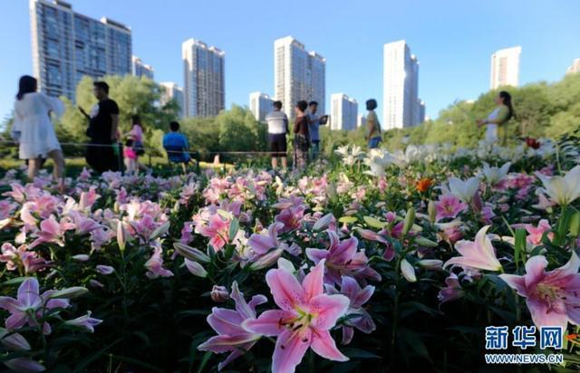 7月10日,沈阳市沈水湾公园内百合花竞相开放,鲜花吸引了众多游客前来观赏。图为市民在沈水湾公园内赏百合花。新华网姜冰摄