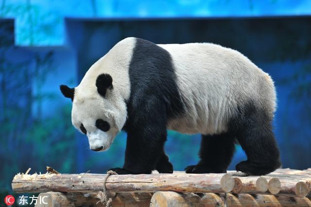 """2018年4月25日,大熊猫""""浦浦""""在熊猫馆玩耍。(图片署名: 东方IC) """""""