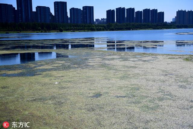 """2018年8月1日,辽宁沈阳,沈阳持续高温,连续突破历年同期极值。沈阳母亲河浑河也开始""""发烫"""",长青桥段绿藻泛滥如绿毯。 (图片署名: 东方IC) """""""