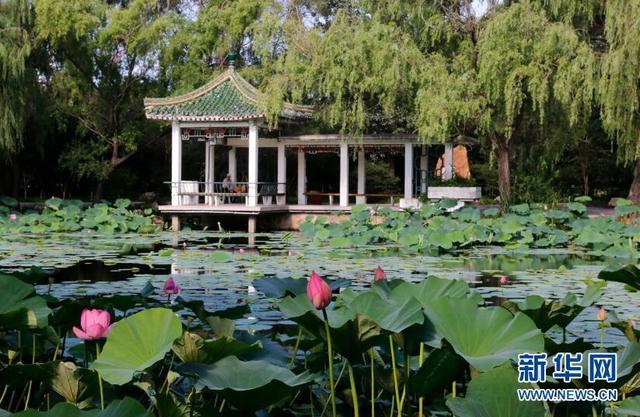 7月17日,沈阳市北陵公园内荷花陆续开放,荷塘中开放的荷花为夏日增添了一抹亮色。图为沈阳市北陵公园内荷花池。新华网姜冰摄